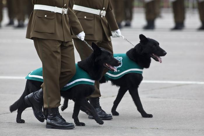 Бродячие собаки в Чили поступили на работу в подразделение служебных собак. Фото: CLAUDIO SANTANA/AFP/Getty Images