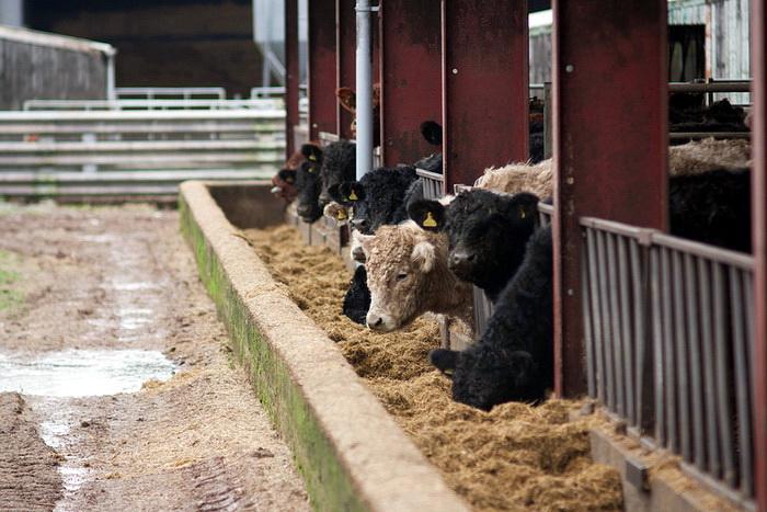 Согласно NRDC, генно модифицированные продукты и пищевые добавки, используемые в питании сельскохозяйственных животных также, способствуют снижению устойчивости человеческого организма к бактериям. Фото: sszdl/flickr.com