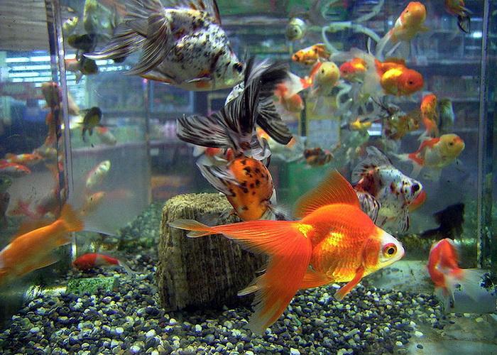Биологи выяснили, почему у золотой рыбки появился второй хвост. Фото: OpenCage/flickr.com