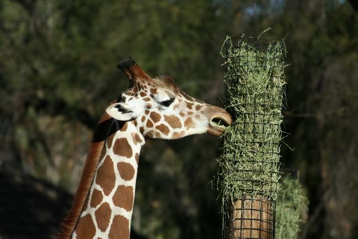Убийство жирафа в Датском зоопарке вызвало протесты во всем мире. Фото: morguefile.com