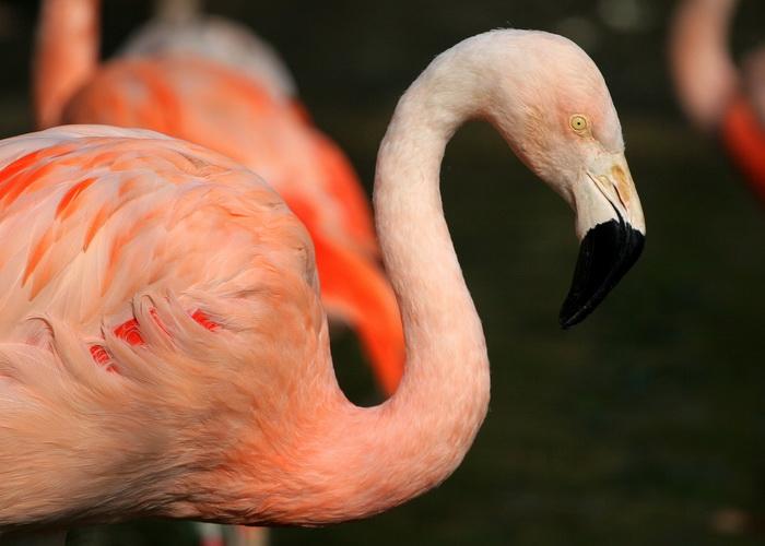 Розовый фламинго. Фото: morguefile.com