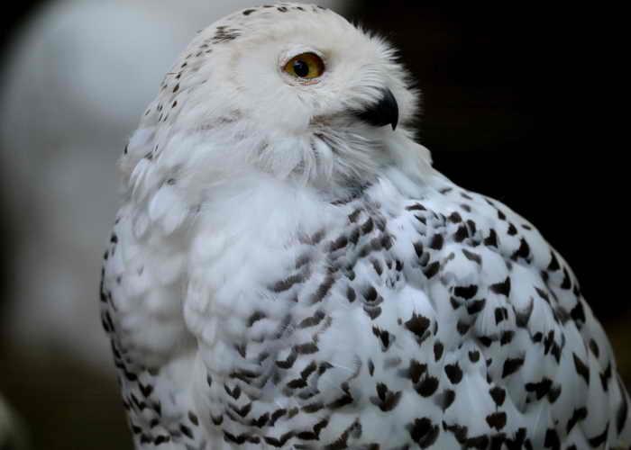 Полярные совы стали бедствием для Нью-Йоркского аэропорта. Фото: PATRIK STOLLARZ/AFP/GettyImages