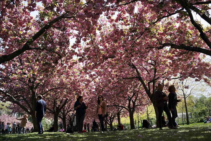 Цветение вишни. Фото: Spencer Platt/Getty Images