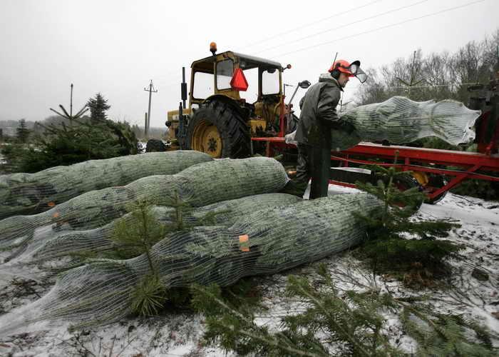 Дания. Питомник по выращиванию ёлок. Фото: HENNING BAGGER/AFP/Getty Images