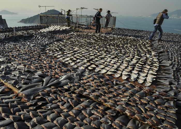 В конце августа нынешнего года в Индии ограничили охоту на акул ради плавников, которая получила такое распространение, что некоторые редкие виды оказались на грани уничтожения. Фото: ANTONY DICKSON/AFP/Getty Images