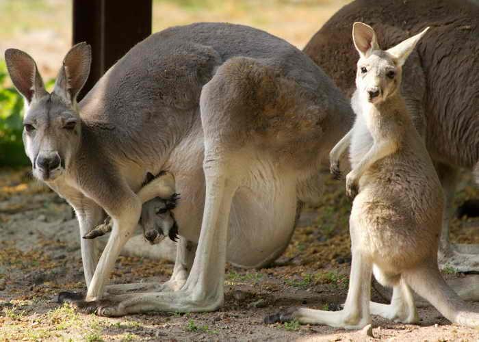Австралия. Потерявшемуся в природном парке в Южной Австралии мальчику помог выжить кенгуру. Фото: STEFAN SIMONSEN/AFP/Getty Images
