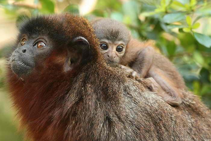 Новые виды растений и животных обнаружили в бассейне Амазонки. Обезьяна с красно-коричневой бородой, которою выследили в 2010 году, принадлежит к семье, состоящей более чем из 20 видов обезьян Тити. Фото: Peter Macdiarmid/Getty Images