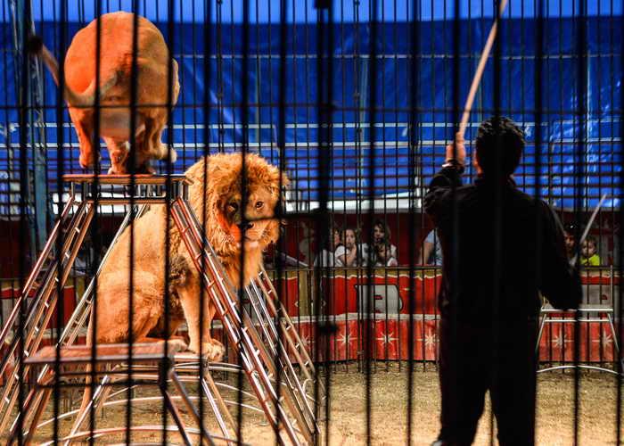 Власти Сальвадора запретили использование животных на арене цирка и всех публичных представлениях. Фото: ANDREAS SOLARO/AFP/Getty Images