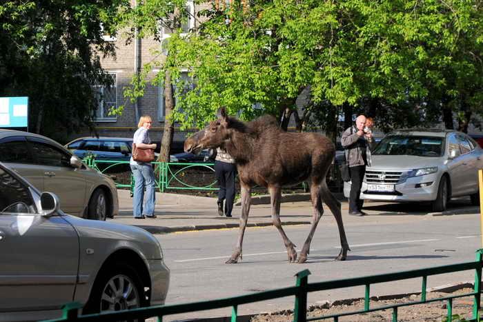 В Швеции начался «сезон пьяных лосей». Лось считается символом Швеции. По данным зоологов, в настоящее время на территории страны обитают приблизительно 300-400 тысяч особей. Фото: ANDREY SMIRNOV/AFP/GettyImages