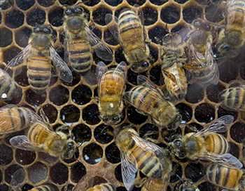Учёные определили, отчего вымирают пчёлы. Фото: PAUL J. RICHARDS/AFP/Getty Images