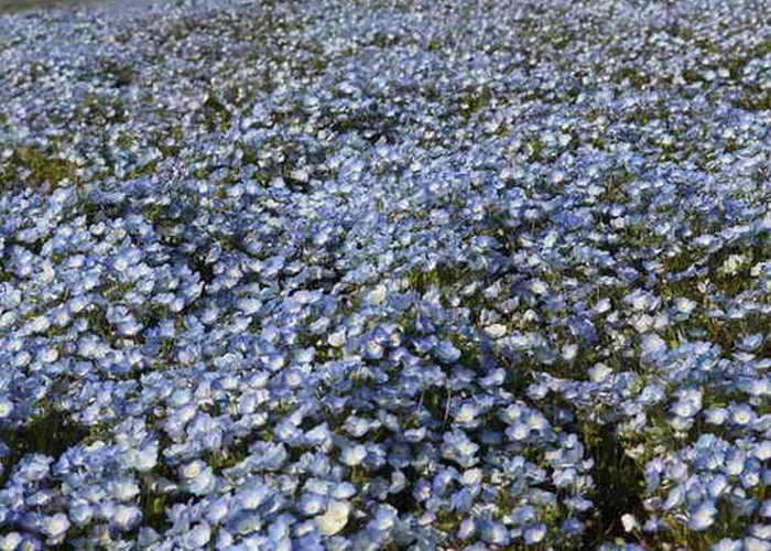 Цветковые растения появились на земле вместе с динозаврами утверждают учёные из Университета Цюриха. Фото: Koichi Kamoshida/Getty Images