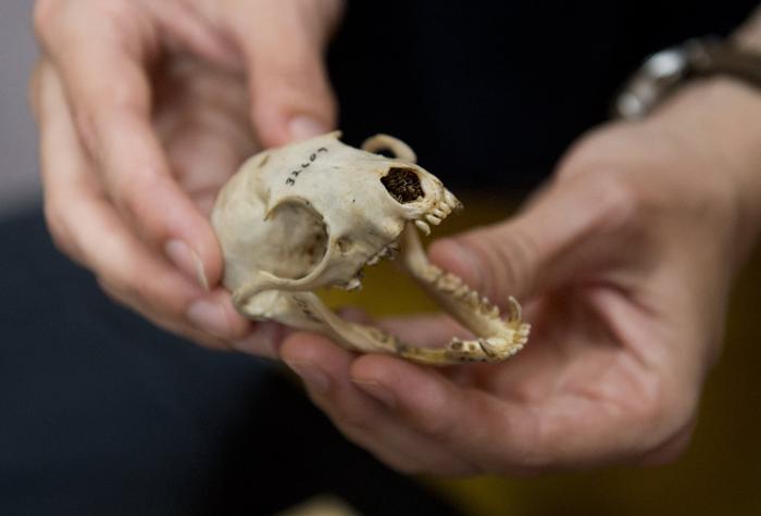 Учёные из Смитсоновского института США 15 августа 2013 года объявили об открытии  нового вида хищных млекопитающих семейства енотовых  — олингито, который в течение 100 лет ошибочно принимали за другой более крупный вид — олинго. Фото: SAUL LOEB/AFP/Getty Images