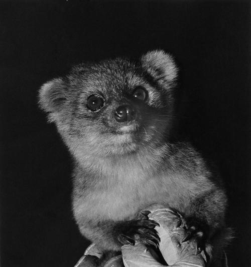 Учёные из Смитсоновского института США 15 августа 2013 года объявили об открытии  нового вида хищных млекопитающих семейства енотовых  — олингито, который в течение 100 лет ошибочно принимали за другой более крупный вид — олинго. Фото: Poglayen-Neuwall for Smithsonian via Getty Images