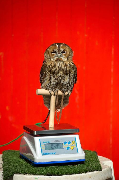 Сова Альберт (444 г) прошла процедуру взвешивания в Лондонском зоопарке 21 августа 2013 года. Фото: Bethany Clarke/Getty Images