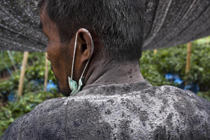 Пепел покрыл человека, работающего 21 ноября 2013 года на кофейной плантации в 3 километрах от активизировавшегося вулкана Синабунг на севере острова Суматра (Индонезия). Фото: Ulet Ifansasti / Getty Images