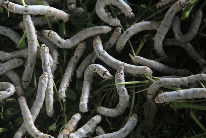 Шелкопряды производят шёлковое волокно в индонезийском Богоре 21 декабря 2013 года. Фото: Nurcholis Anhari Lubis/Getty Images