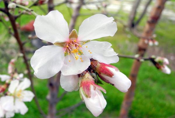 В Севастополе цветет миндаль. Фото: Алла Лавриненко/Великая Эпоха
