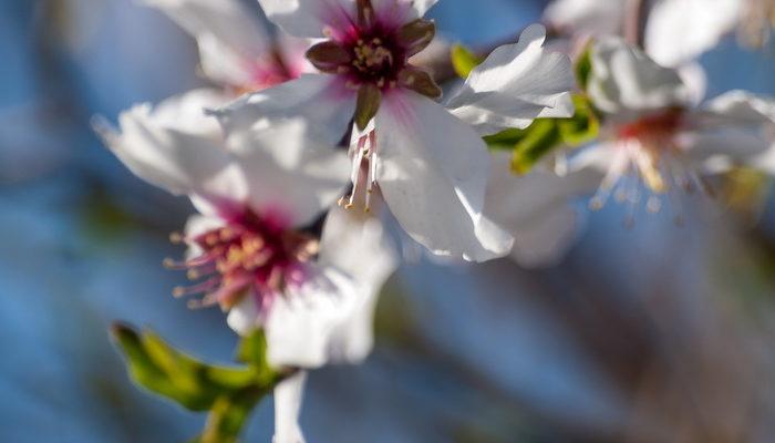 Цветёт миндаль в Израиле