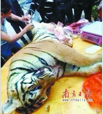 Разделка убитого тигра в Китае. Фото: Screenshot/Sina News