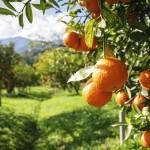 Апельсиновый лист используется в китайской травяной медицине для очищения печени. Фото: sripfoto/photos.com