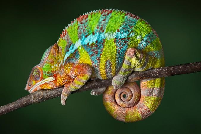 Пантеровый хамелеон. Фото: Shutterstock*