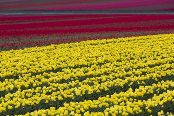Поля цветущих тюльпанов. Фото: Carsten Koall/Getty Images