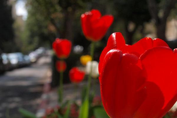 Голландские тюльпаны запретят ввозить в Россию