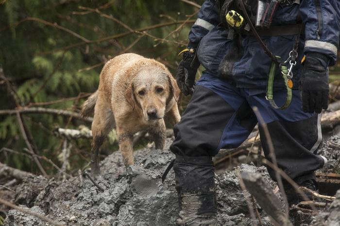 В штате Вашингтон продолжают работу спасатели с собаками. Фото: David Ryder/Getty Images