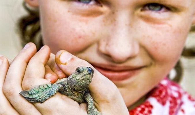 Трудное путешествие оливковых черепах