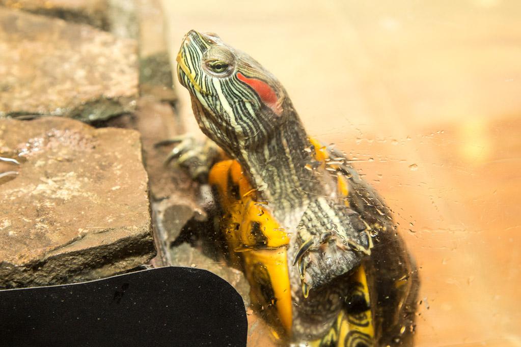 Черепаха красноухая. Фото: Сергей Тугужеков/Великая Эпоха (The Epoch Times)