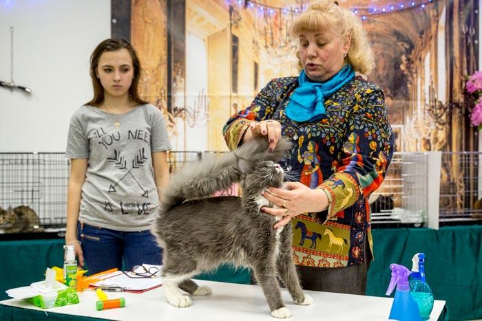 Мейн-кун на ринге. Международная выставка кошек  WCF в Рязани. Фото: Сергей  Лучезарный/Великая Эпоха