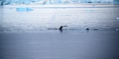 Японии запретили китобойный промысел в Антарктике