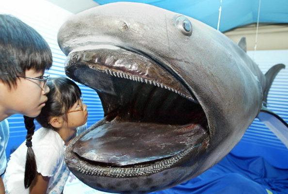 Редкая большеротая акула поймана у берегов Японии