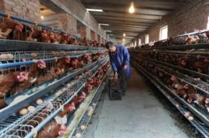Китайский фермер собирает яйца на птицефабрике в городе Хэфэй восточной китайской провинции Аньхой в ноябре 2009 года. Фото: STR/AFP/Getty Images