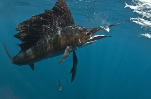 Рыба-парусник. Фото: Shutterstock*