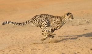 Гепард. Фото: Shutterstock*