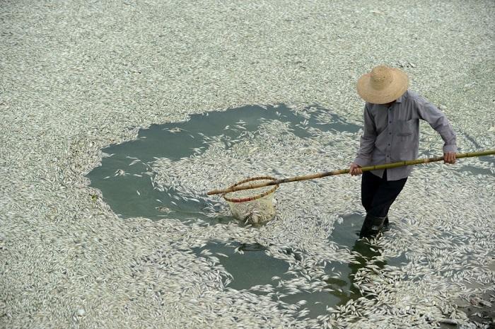 Крестьянин очищает реку Фухэ от мёртвой рыбы, город Ухань, провинция Хубэй, 3 сентября 2013 года. Рыба погибла от высокого содержания аммиака в воде. Фото: STR/AFP/Getty Images