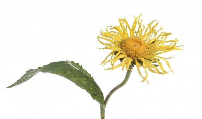 Девясил — растение для бронхов и лёгких