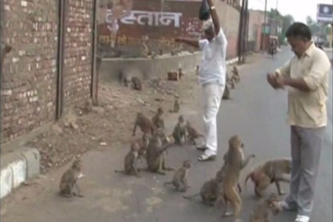 Индийский город Агра подвергся нашествию обезьян