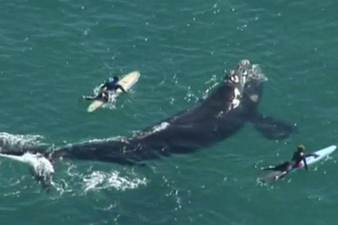 Австралийские серферы поплавали в опасной близости с китом