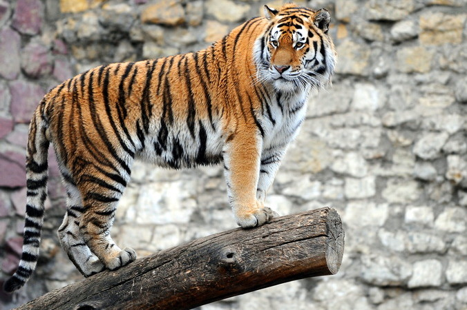 Тигр, Московский зоопарк.
