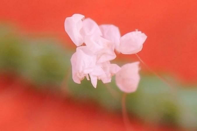 Цветок удумбара на хвое,