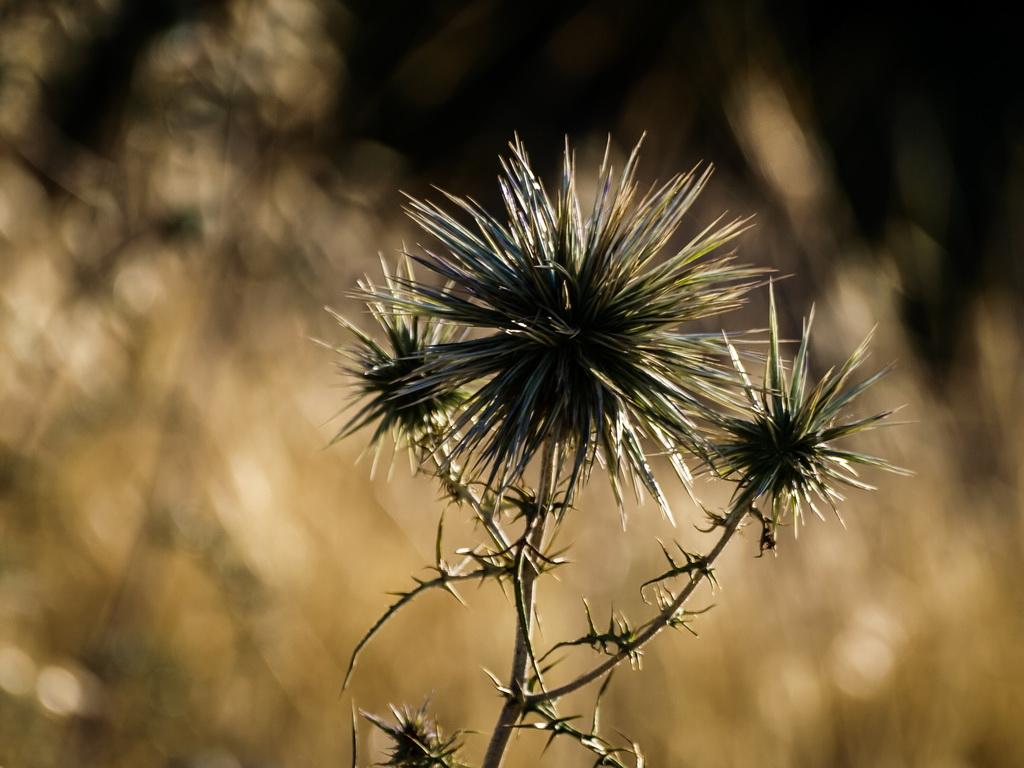колючки, растения, фотографии