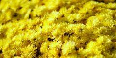Очищение организма чаем из хризантем