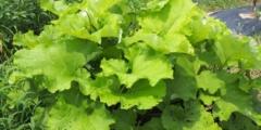 Лопух — растение для тех, кто много времени проводит на ногах