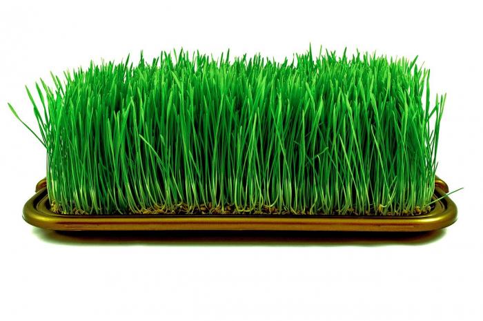 Проростки пшеницы — ценная пищевая добавка