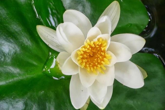 лотос, цветы