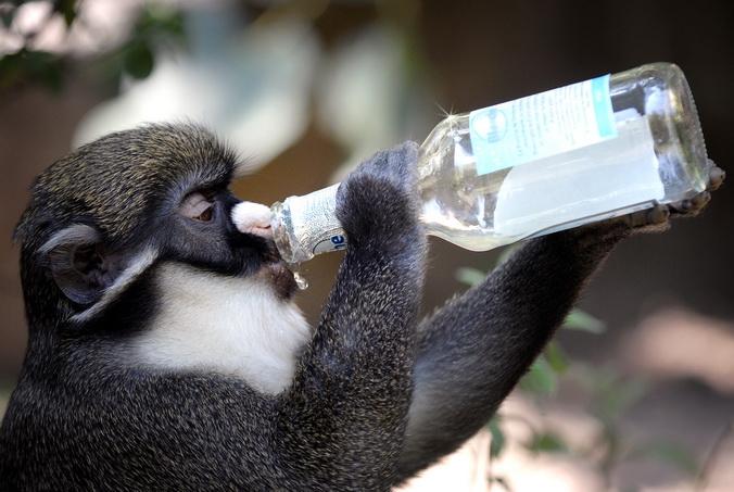 Обезьяны нередко выхватывают у туристов банки с крепкими напитками. Фото: JEAN-PHILIPPE KSIAZEK/AFP/Getty Images