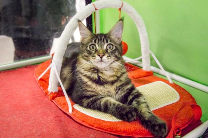 Любимая кошка на выставке кошек