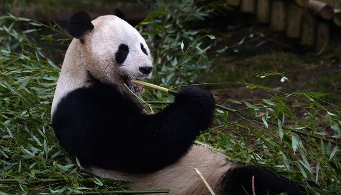 Ради панд в Китае переселят более 170 тысяч жителей